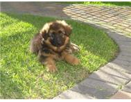 German Shepherd Puppies for Sale!Registered.