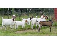 healthy boer goats for sale