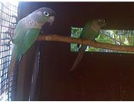 Blue Greencheek conure hen for bree...