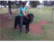 Miniature Horse Horses in Farm Animals For Sale North West Lichtenburg - South Africa