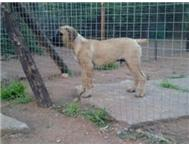 Boerboel male puppy for sale