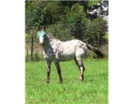 Registered Appaloosa Horse