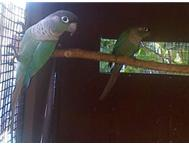Blue Greencheek conure hen