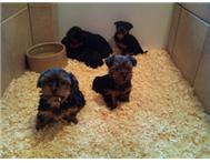 Yorkshire terrier pedigree puppies