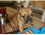 Super cute and super playful little Frenchie baby girl. Johannesburg