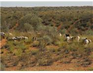 Kalahari farm for sale with sheep Upington Upington R 20000000.00