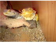 Bearded dragons with enclosure for ...