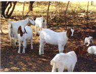 Healthy commercial boer goats for sale