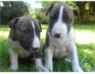 Brindle female bull terrier pups