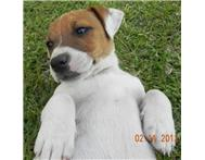 Smooth Coat Jack Russell Puppies