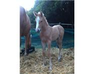 Palomino Warmblood colt for sale!!