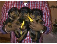 superior quality rottweiler puppies for sale