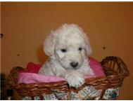 French Poodle Miniature / Toy