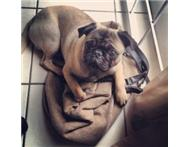 Looking for a female pug to be covered by mine