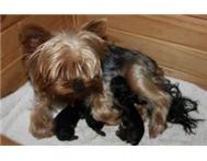 Yorkie Yorkshire Puppies Registered Pedigreed Small Male Female