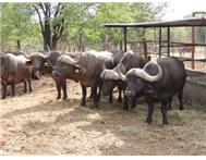 Cape Buffalo in Game For Sale Limpopo Alldays - South Africa