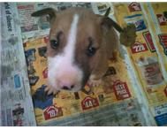 Bull Terrier Puppies (KUSA)