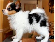 Champion Bloodlines Papillon Puppies