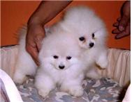 Two Cute Male And Female Pomeranian Puppies For sale