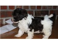 Adorable Havanese puppies for sale.