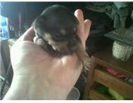 miniture doberman pincher puppies f...