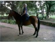 6Year old Boerperd Gelding For sale!