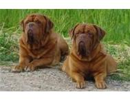 Dogue De Bordeaux Dogdebordeaux Dog French Mastiff Bordeaux Mas Cape Town