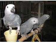 Very cute hand raised african grey babies for sale