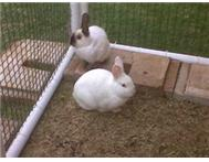REGISTERED BREEDERS! Baby rabbits available