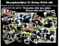 Border Collie Puppies For Sale Koffiefontein