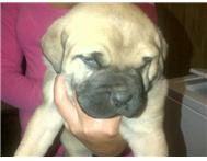 Beautiful Boerboel Puppies for sale