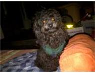 Wanted: Toy French Poodle Lost - Please Help! Pretoria North