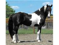 Lovely Pinto friesian gelding