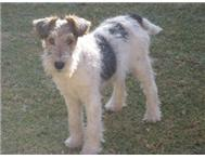 Male Purebred Wire Fox Terrier in Dogs & Puppies For Sale Northern Cape Kimberley - South Africa