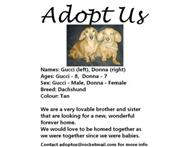 Dachshund brother and sister for adoption