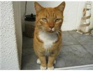 Ginger male adult cat looking for loving home
