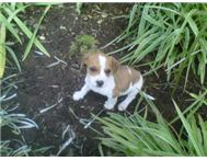 6 Jack Russel-Duchshund cross breed...