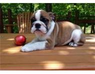 HEALTHY ENGLISH BULLDOG PUPPY READY FOR A NEW HOME Durban