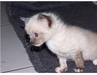Beautifull blue eyed white kittens Pretoria