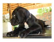 KUSA reg Cane Corso puppies for sale.