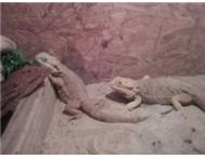 male and female bearded dragons for salw