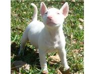 KUSA Registered Bull Terrier Puppie...