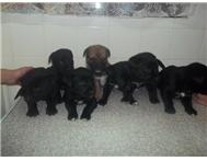 labrador cross boerbull pups