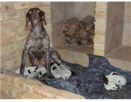 Male & Female Various German Shorthaired Pointer in Dogs & Puppies For Sale Gauteng Randburg - South Africa