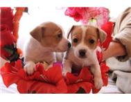 Male Purebred Jack Russell Terrier in Dogs & Puppies For Sale Gauteng Pretoria - South Africa