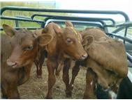 Calves for Sale!! 2-4 weeks old!