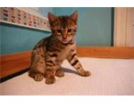 Purebred Bengal Kittens - Available Now!
