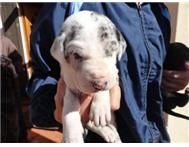 Purebred Great Dane Puppies for Sal...