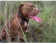Male & Female Purebred American Pitbull Terriers in Dogs & Puppies For Sale North West Rustenburg - South Africa