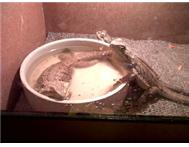 Two female Bearded Dragons for sale